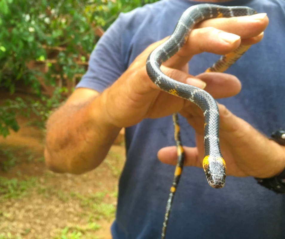 black headed calico snake
