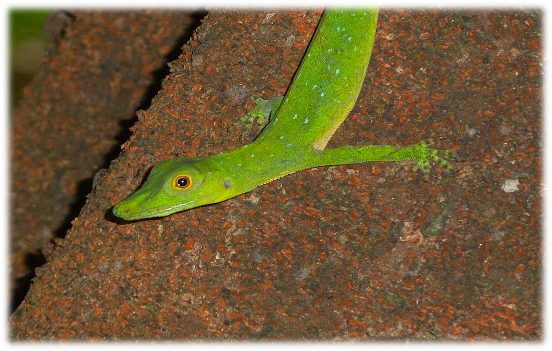 amazon green anole