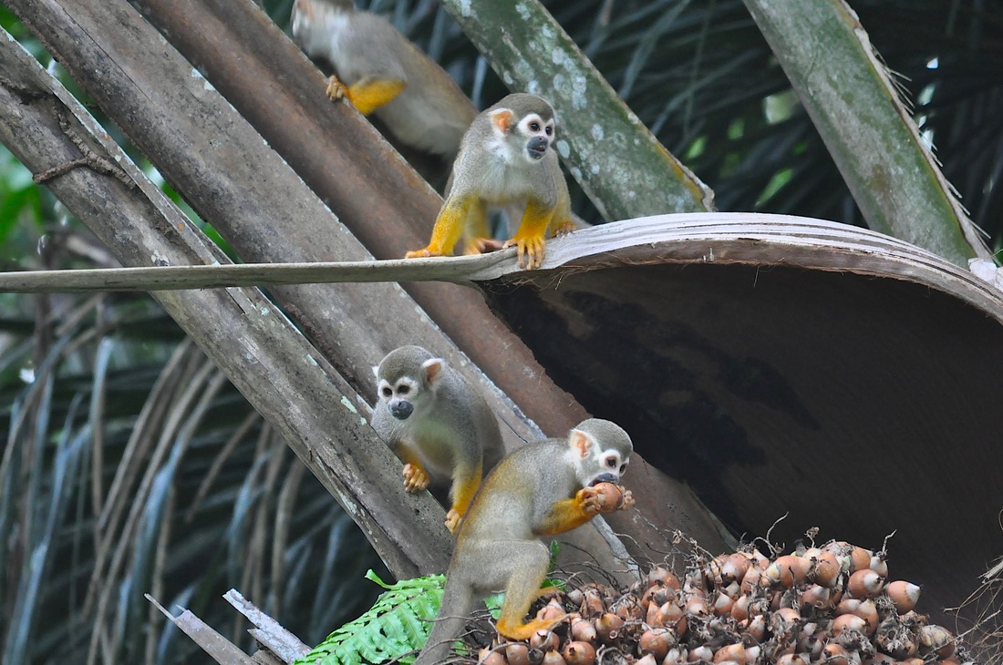 Common Squirrel Monkeys