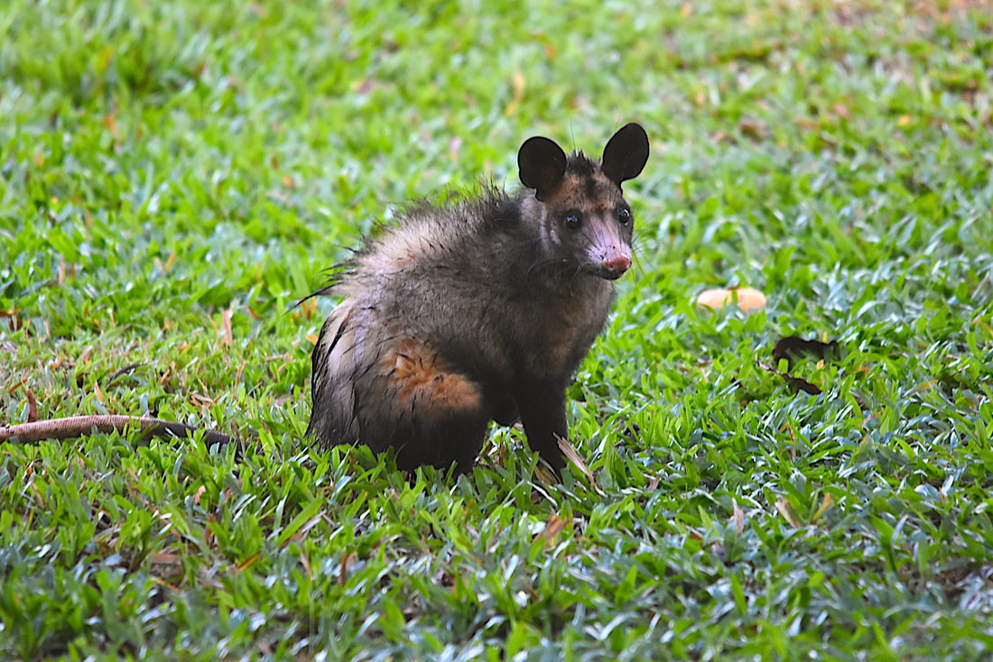common opossum in Suriname