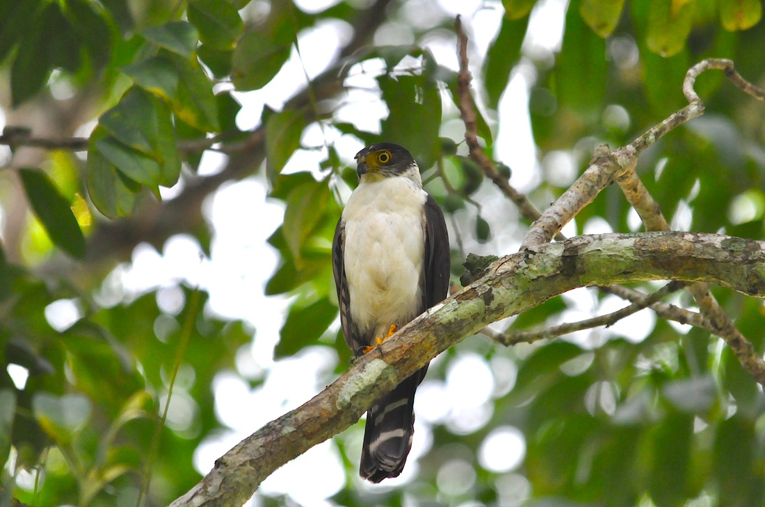 Bicoloured Hawk