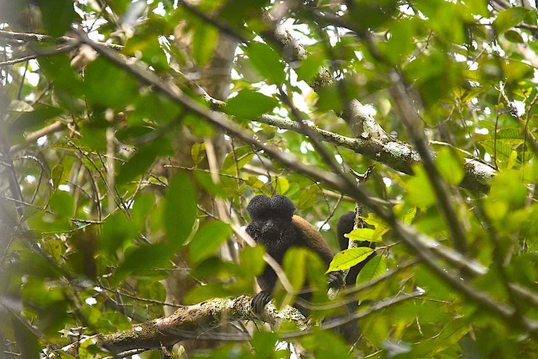 brown bearded saki monkey