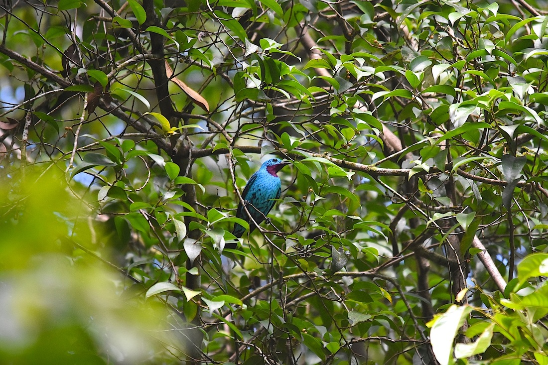 spangled cotinga
